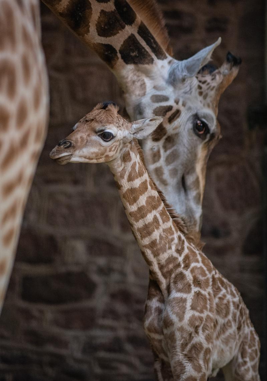 9_Rare giraffe calf born at Chester Zoo (19)