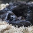 20190613_CB_bana_gorilla-22