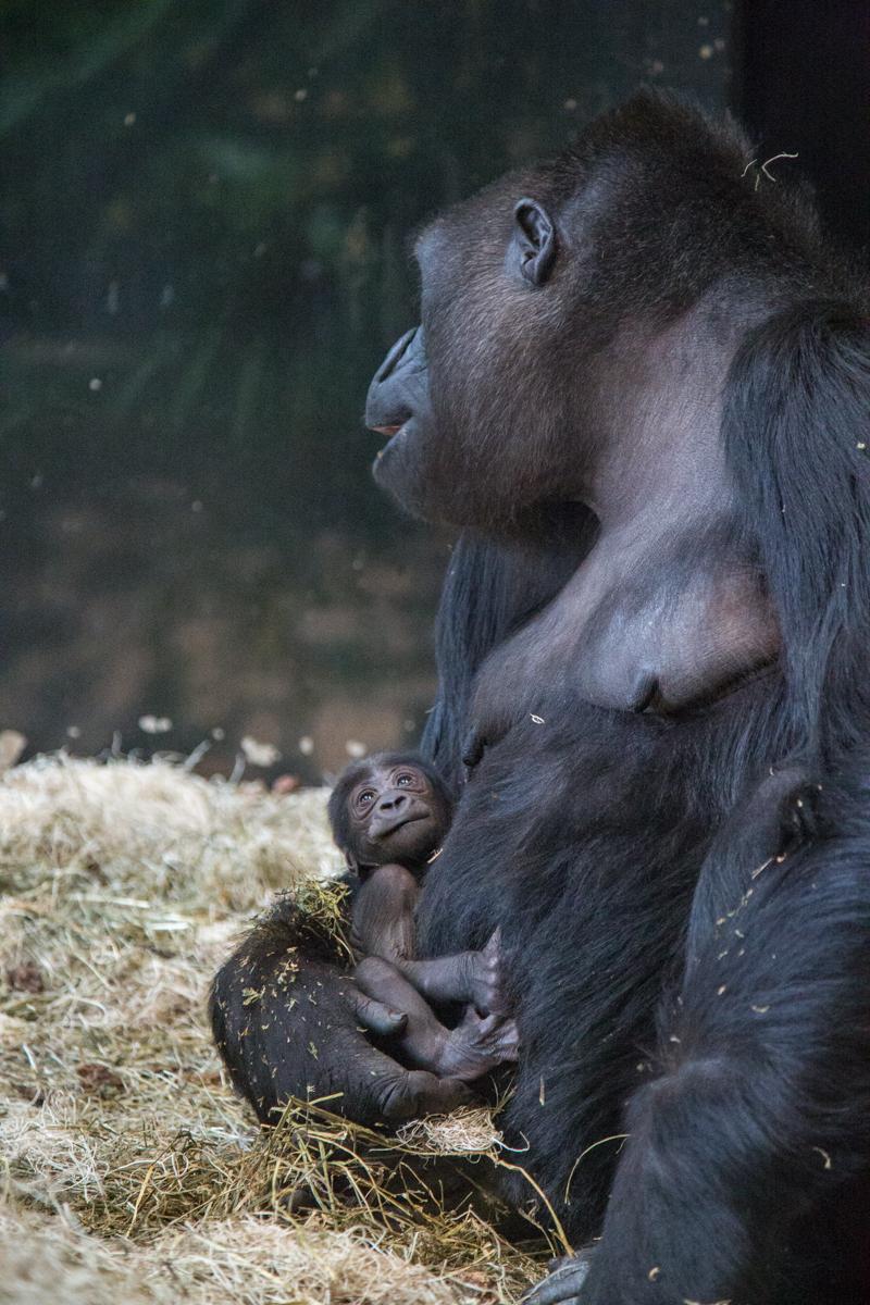 20190613_CB_bana_gorilla-48