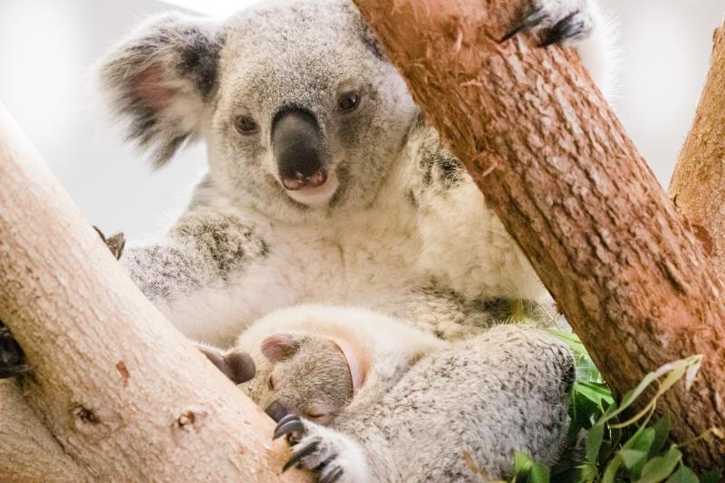 5_koala-1