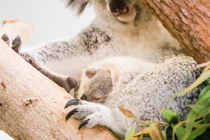 6_koala-2