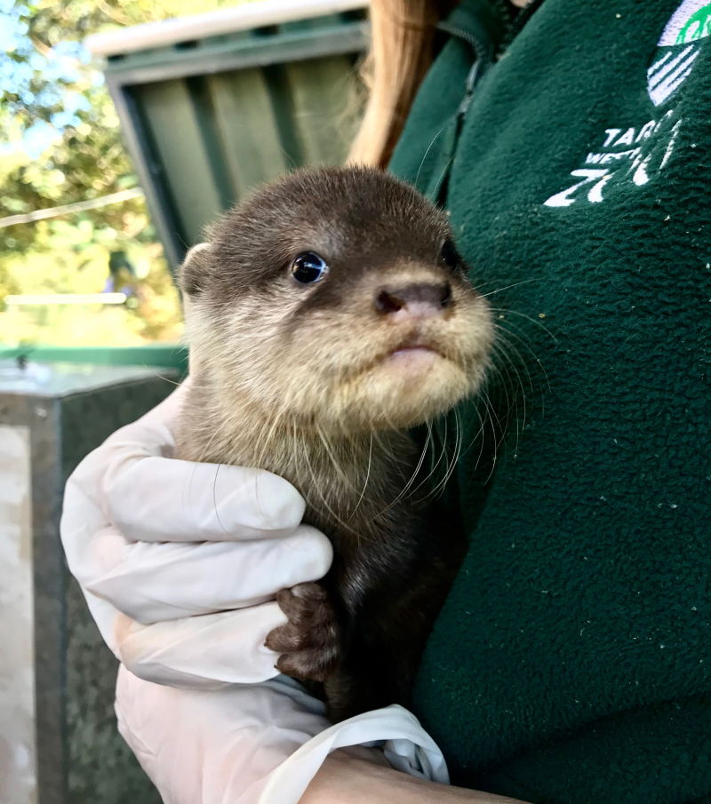 Otter pup1 - photo credit Jennifer Conaghan