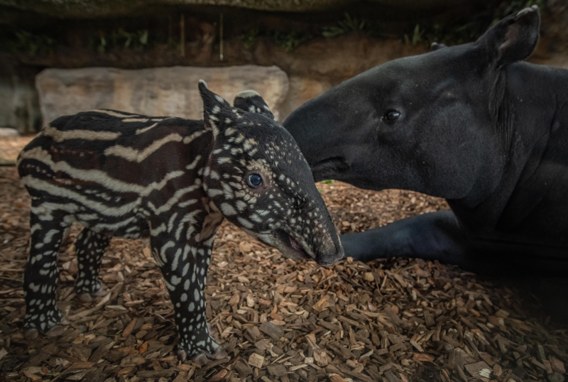 13_Chester Zoo gives a first glimpse of its super-cute new baby tapir  (46)