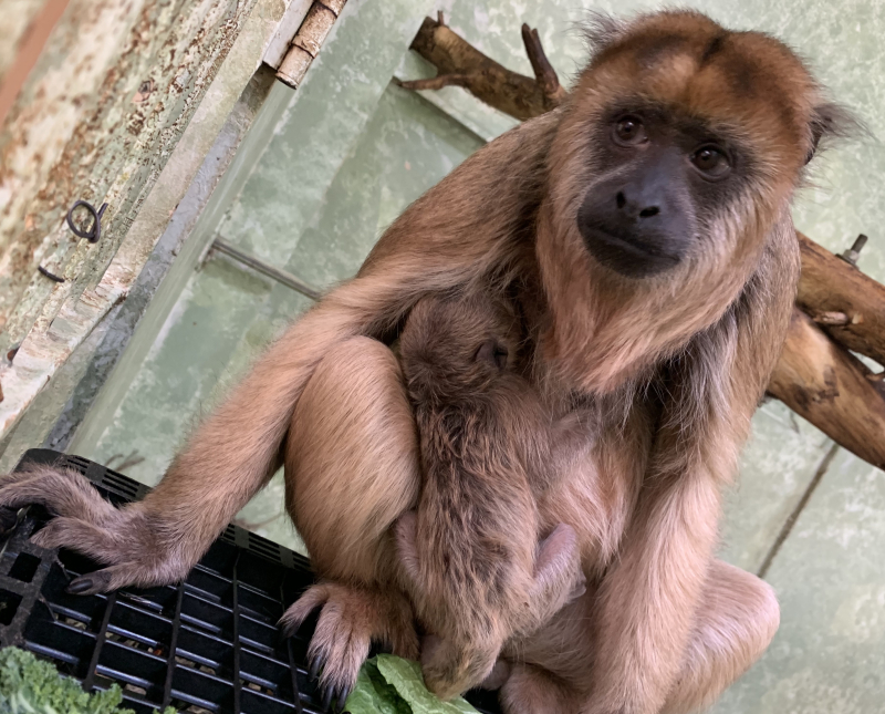 Baby Howler Monkey Arrives With Spring - ZooBorns