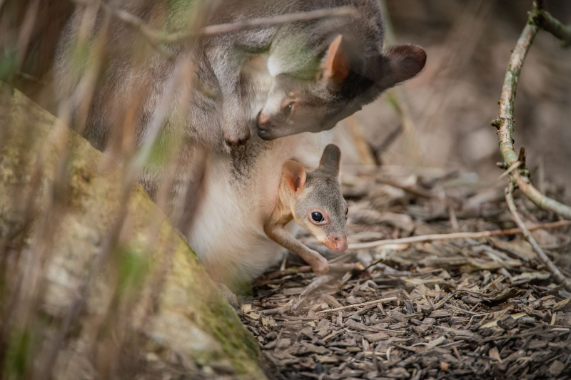 Rare dusky pademelon born at Chester Zoo begins to peek out from mum's pouch (5)