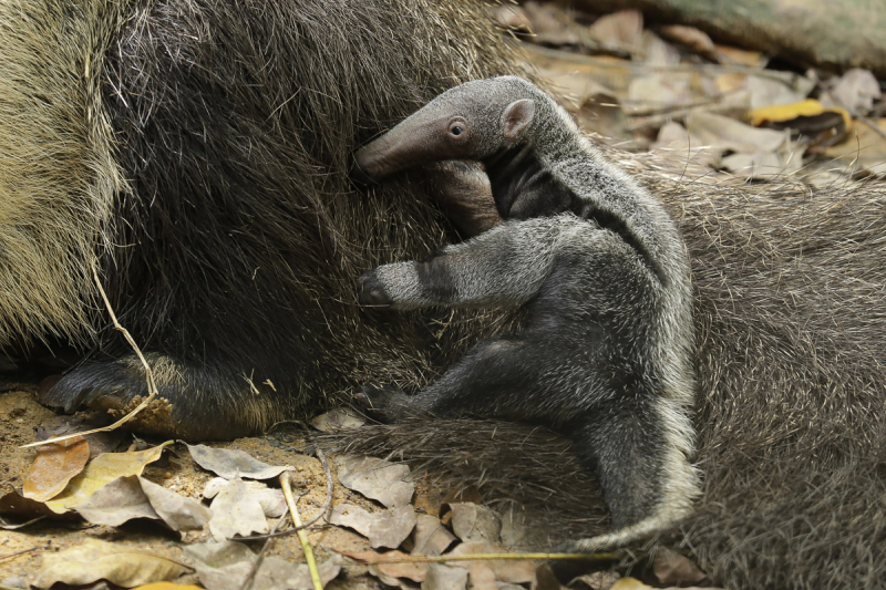 WRS_RS_Img 2_giant_anteater_pup