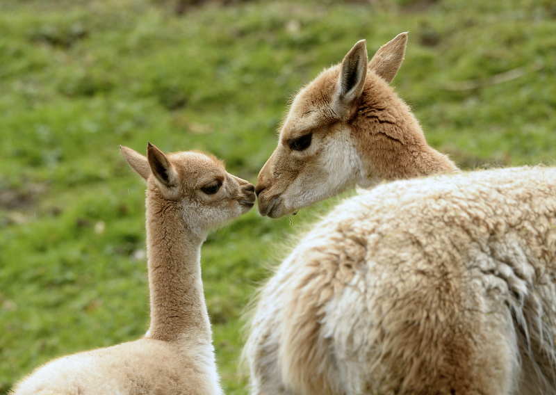 2_The zoo welcomed an adorable baby vicuña on 27 March to mother  Gretchen  and new male  Ozzy