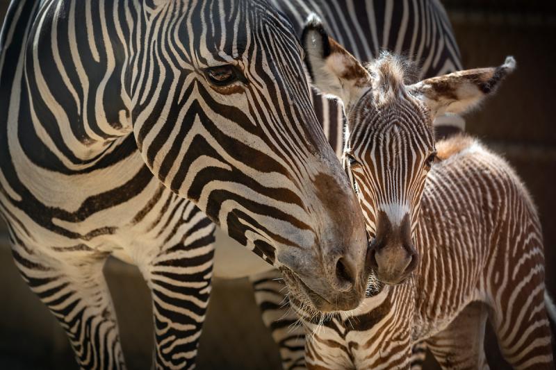 1 Grevy's Zebra Foal and Mom  Jamila  Photo by Jamie Pham