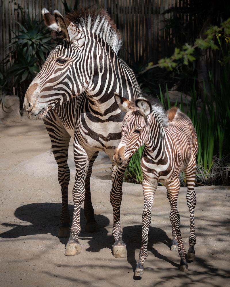 6 Grevy's Zebra Mom  Jamila  with Zebra Foal  Photo by Jamie Pham
