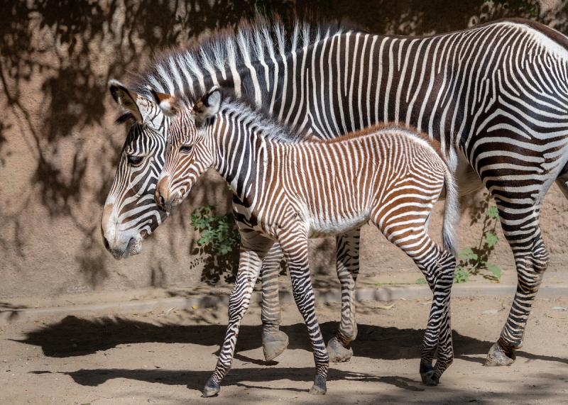 5 Grevy's Zebra Mom  Jamila  with Zebra Foal  Photo by Jamie Pham