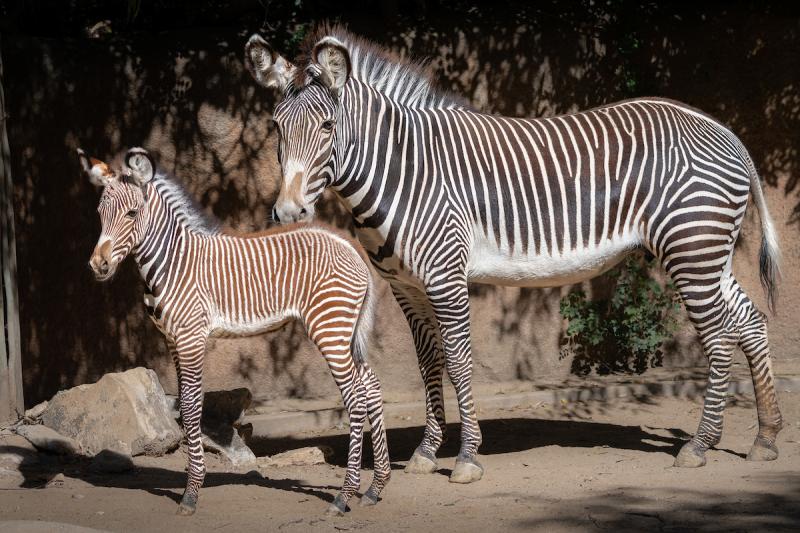 7 Grevy's Zebra Foal  Photo by Jamie Pham