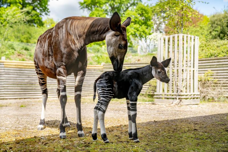 Zoo Photographer - Credit Jason Brown - Okapi Calf (14)