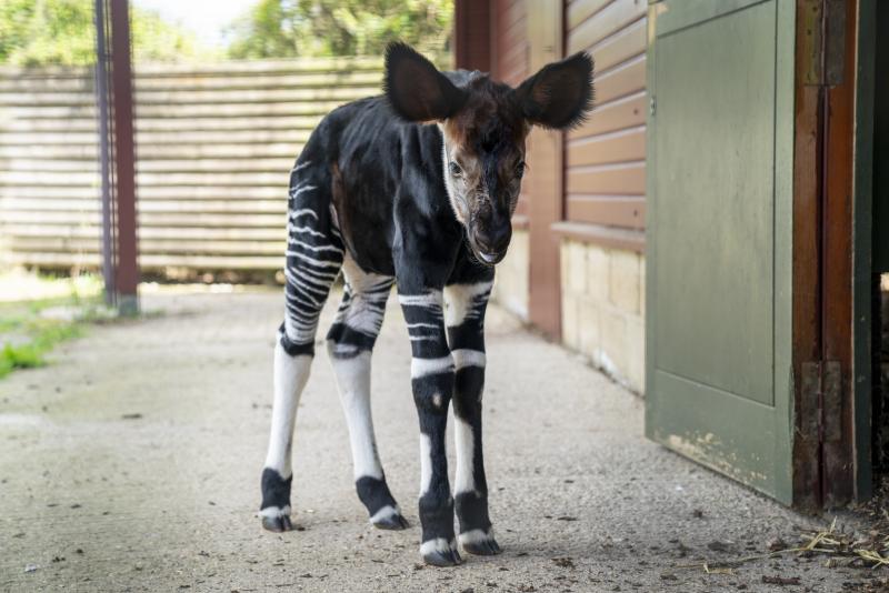 Zoo Photographer - Credit Jason Brown - Okapi Calf (15)