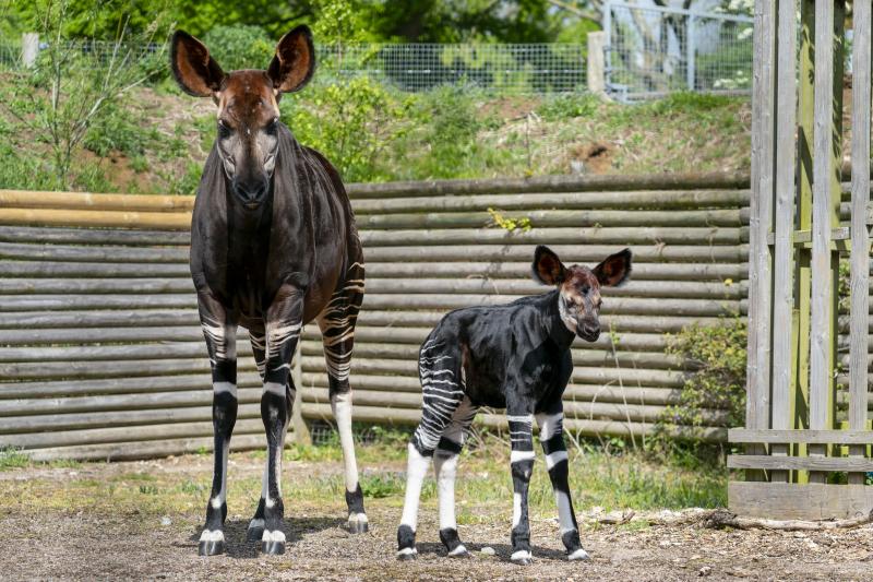Zoo Photographer - Credit Jason Brown - Okapi Calf (35)
