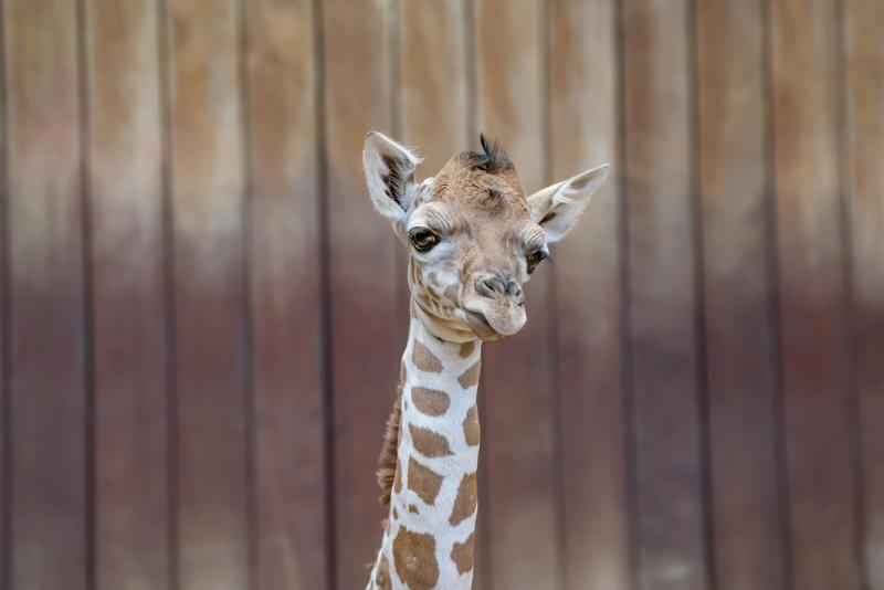 Giraffe Baby 07-2019-5200 E