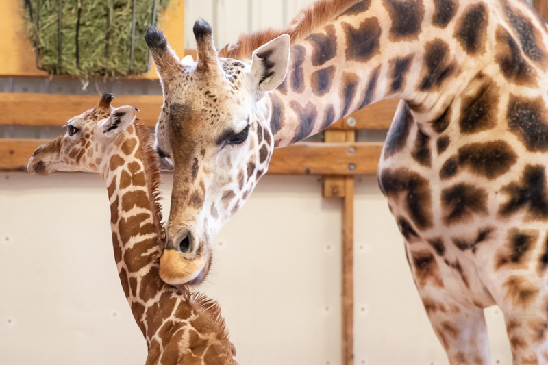 2_2019_05_02 baby giraffe-4