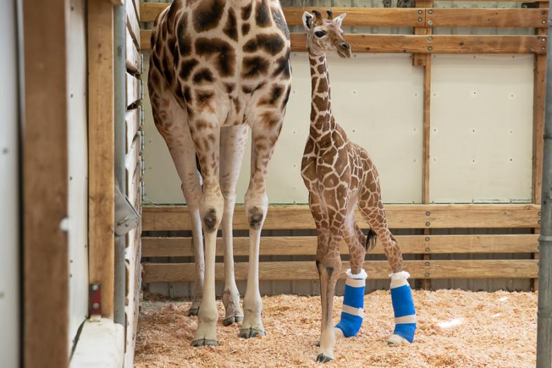 9_2019_05_06 giraffe baby exam-7