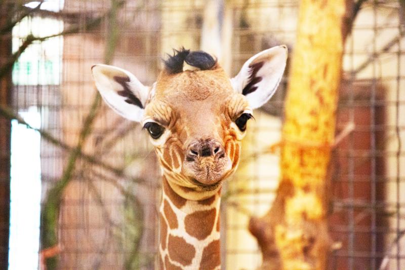 4_Newborn giraffe at ZSL Whipsnade Zoo (c) ZSL (9)