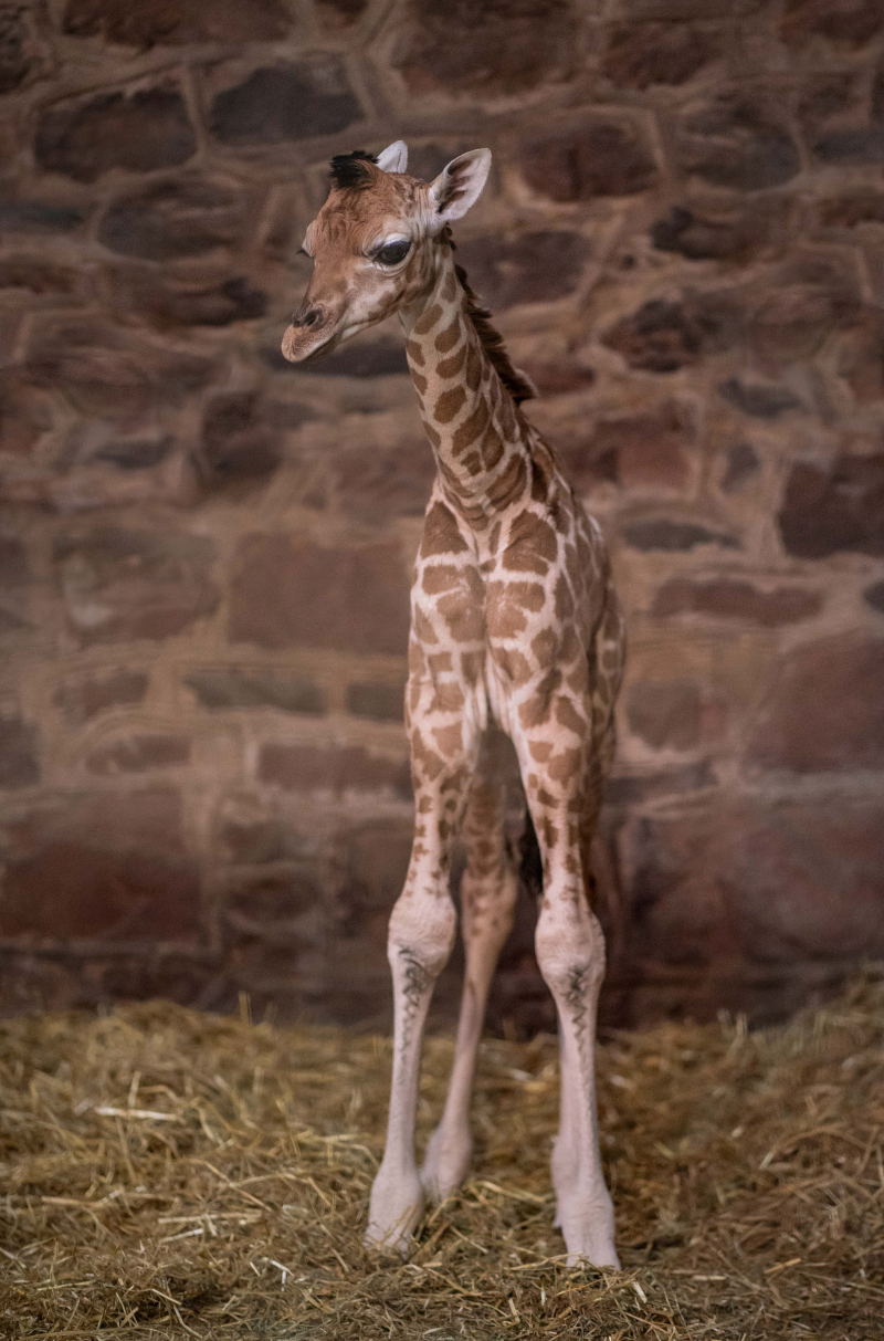 6_Look who just dropped in! Cameras capture the incredible moment a rare giraffe calf is born at Chester Zoo  (4)