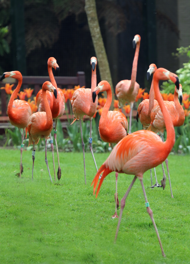 14_Flamingos Flock to Paradise Park in Hayle