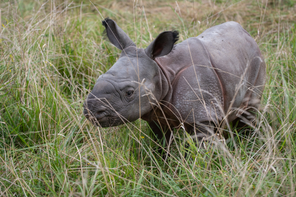 'The Wilds' Sees Greater One-horned Rhino Birth