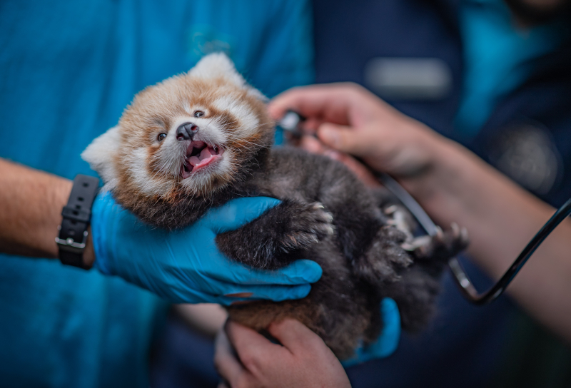 3_Adorable red panda twins born at Chester Zoo have first health check up (20)