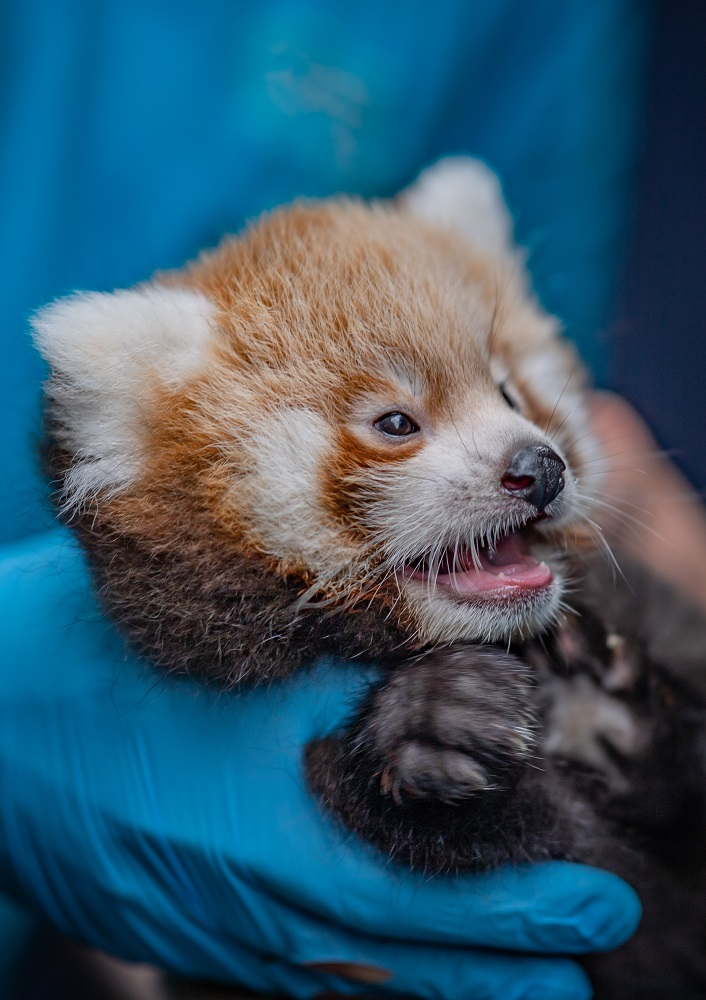 5_Adorable red panda twins born at Chester Zoo have first health check up (1)