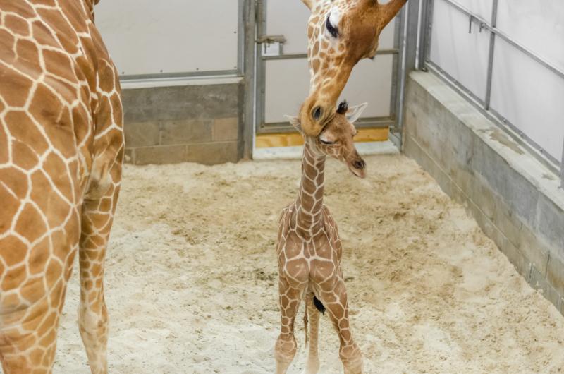 6_20190515_Giraffe_Newborn10
