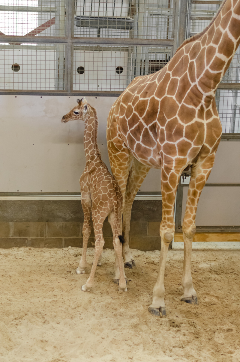 10_20190515_Giraffe_Newborn13