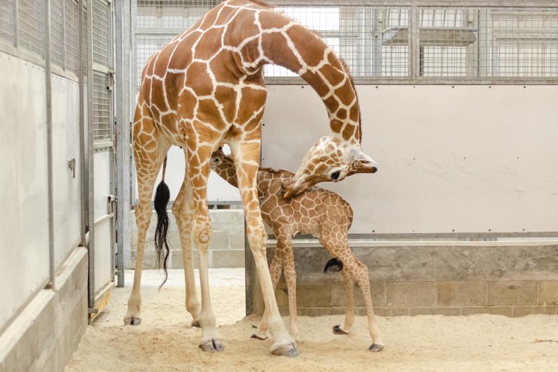 4_20190515_Giraffe_Newborn03