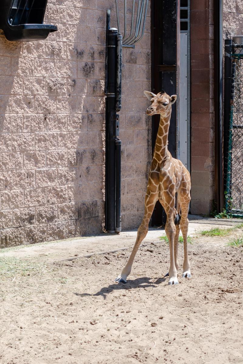 7_20190515_Giraffe_Newborn06