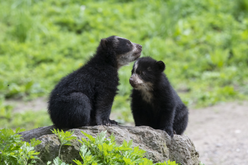 1_Julie Larsen Maher_9052_Andean Bear and Cubs_QZ_05 10 19