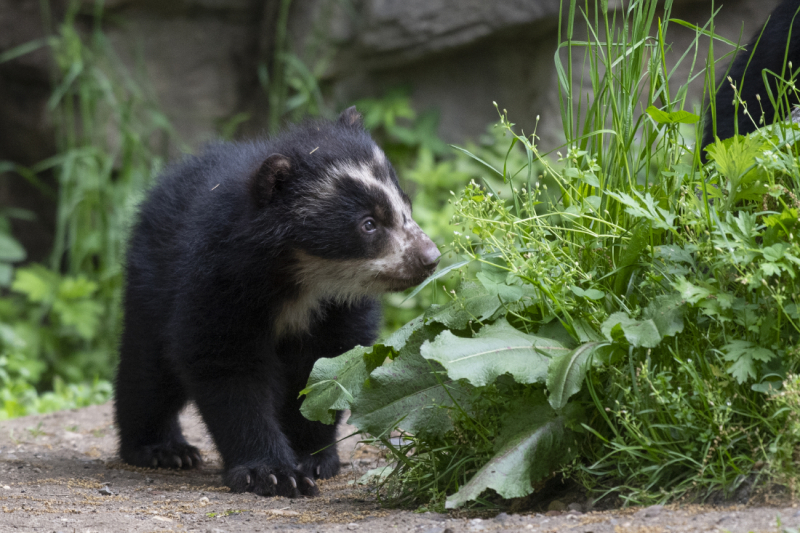 2_Julie Larsen Maher_8804_Andean Bear and Cubs_QZ_05 10 19
