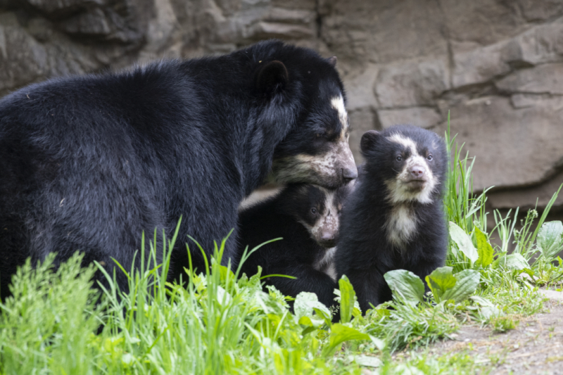 9_Julie Larsen Maher_9175_Andean Bear and Cubs_QZ_05 10 19