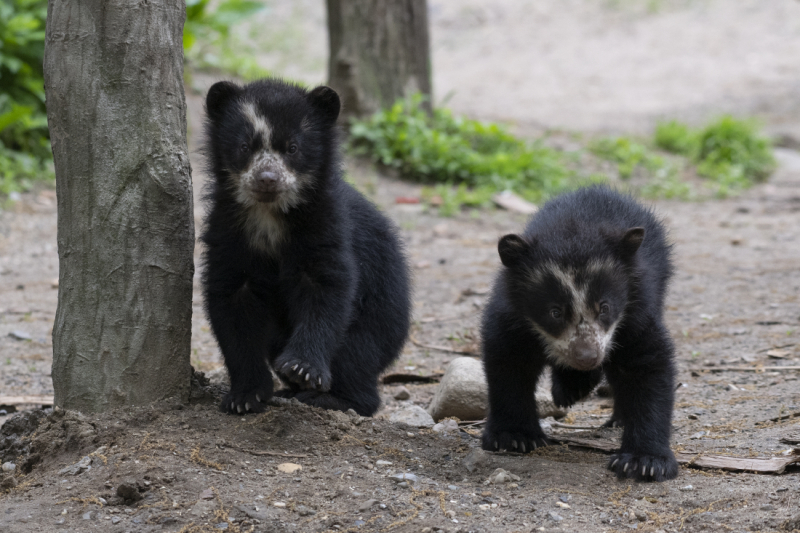 14_Julie Larsen Maher_9228_Andean Bear and Cubs_QZ_05 10 19