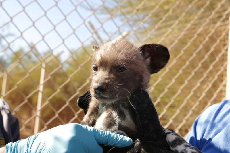 Dr. Christine Higbie exams an African wild dog puppy_5.24.19_The Living ...