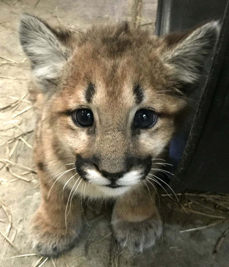 CMZoo Mountain Lion Cub 6a