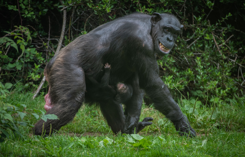 2_!Rare chimpanzee born in front of astonished visitors at Chester Zoo arrives to mum Alice (15)