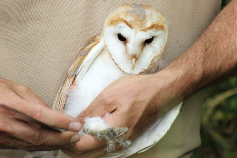 Credit Marwell Wildlife - barn owl chick tagging 2019