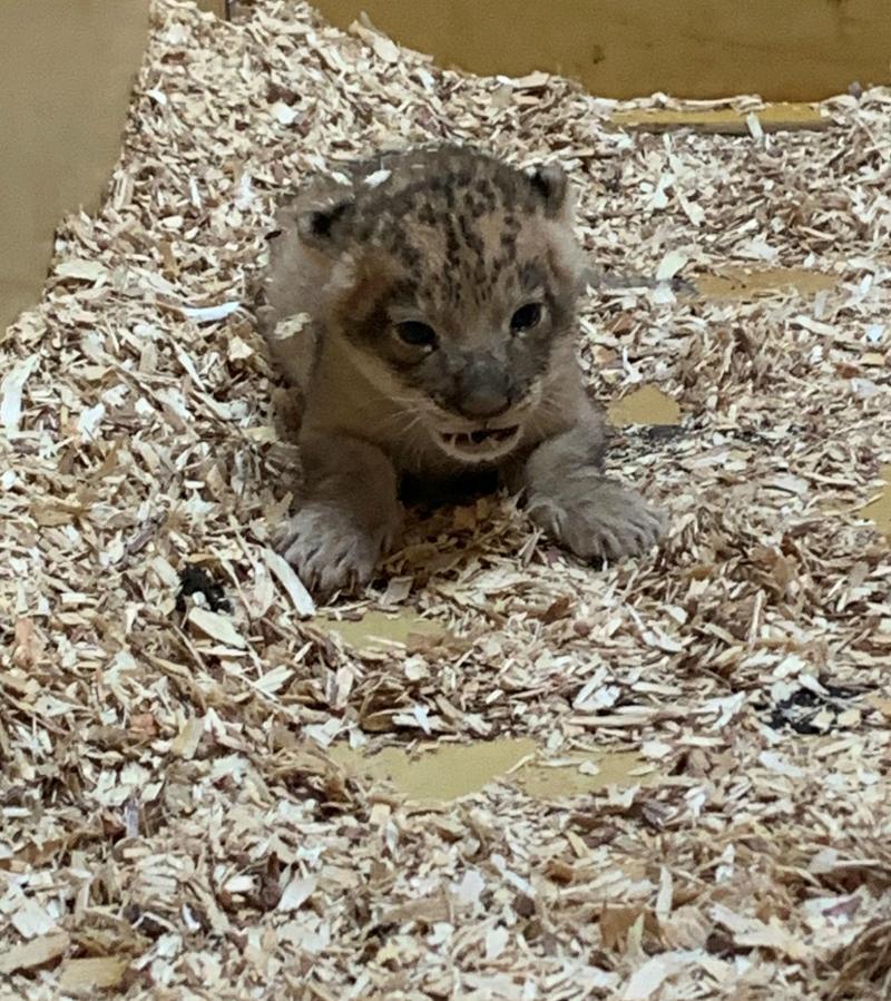 African lion cub 4
