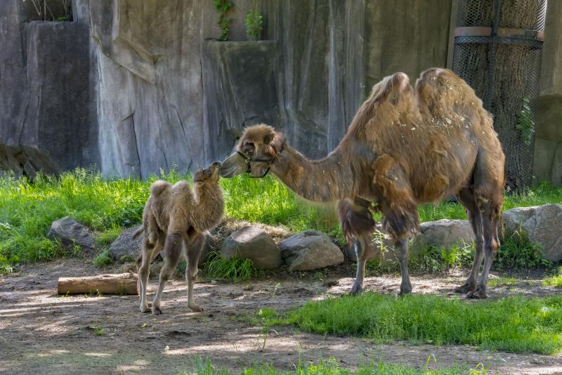 Camel Baby 06-2019-3784 E