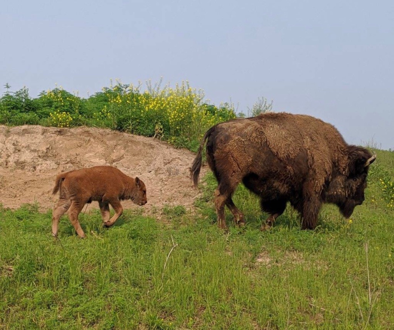 3_Bison calf with mother at Wildlife Safari Park (3)