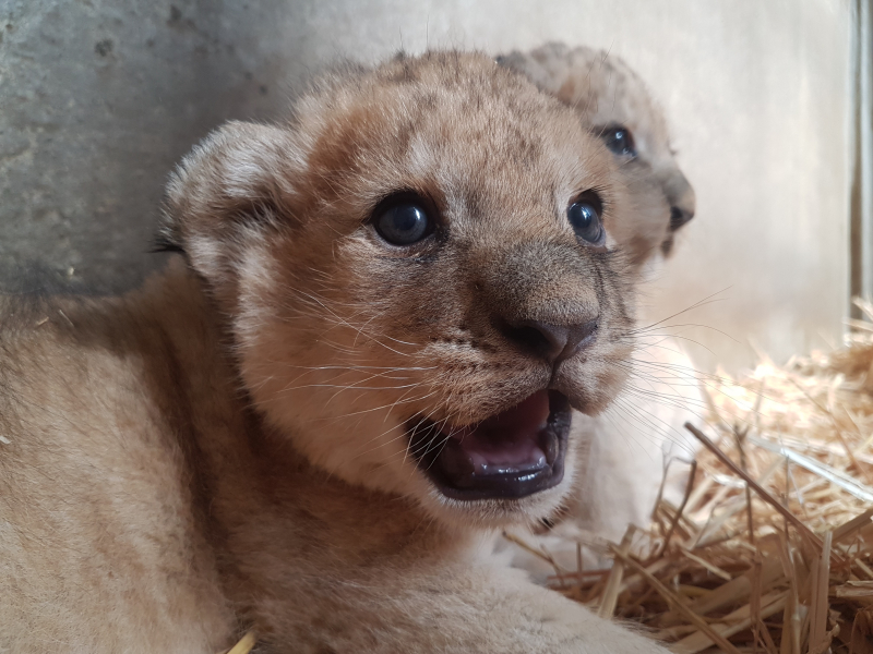 Lion Cubs close up photo Aug 2019
