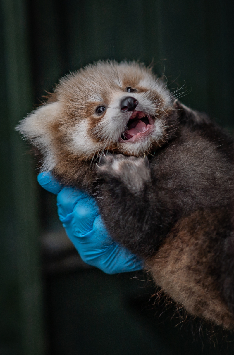 1_Adorable red panda twins born at Chester Zoo have first health check up (11)