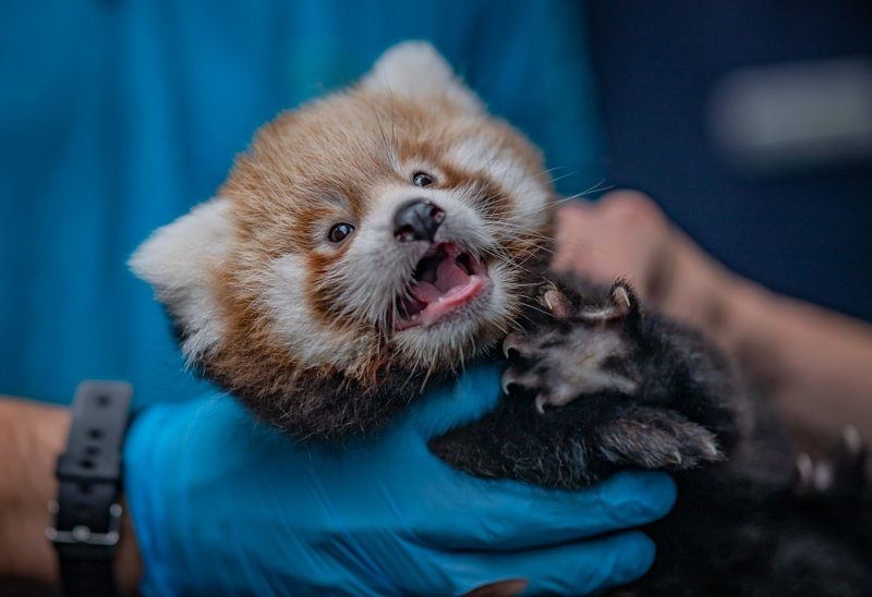 4_Adorable red panda twins born at Chester Zoo have first health check up (2)