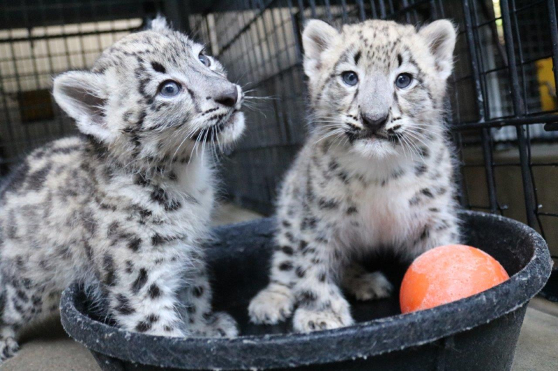 Two Snow Leopard Cubs