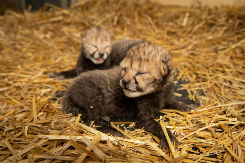 Cheetah Cubs 2019 2 - Grahm S. Jones  Columbus Zoo and Aquarium