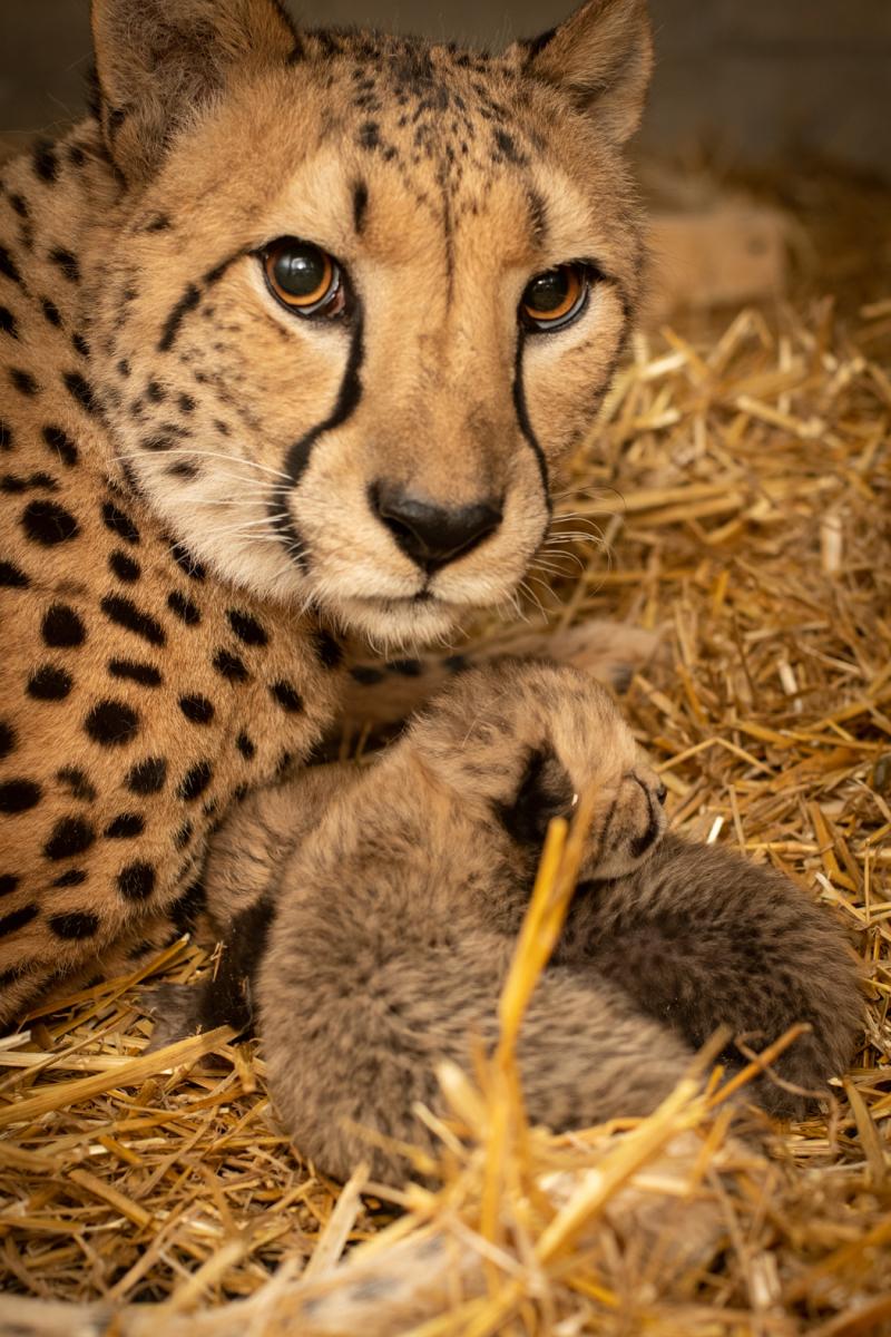 Cheetah Cubs 2019 2 - Grahm S. Jones  Columbus Zoo and Aquarium-4