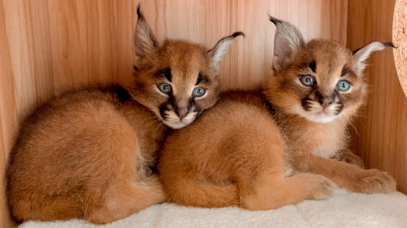 Cat Zooborns