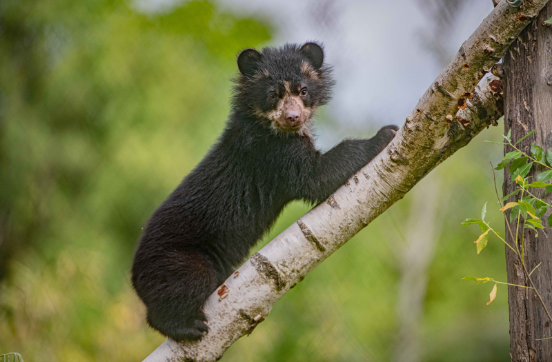 UK first. Twin Andean bear cubs born at Chester Zoo - and they_re adorable! (2)